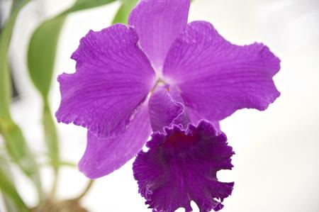 cattleya: Cattleya purple