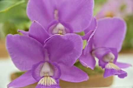 cattleya: Lilac three-wheel cattleya