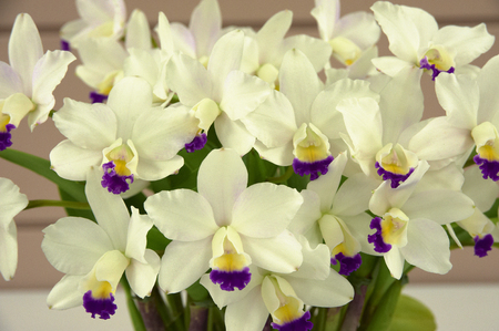 pekoe: Orchids that inserted some purple on a white background Stock Photo