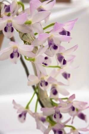 keynote: Thin orchid pink with purple Cassin keynote