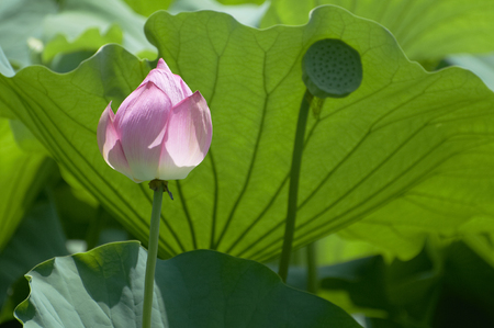 receptacle: Receptacle the buds and seeds of lotus, which began opening in aging Stock Photo