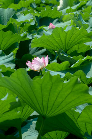 fueled: Lotus bloom pink flowers in the leaf that is fueled by the wind