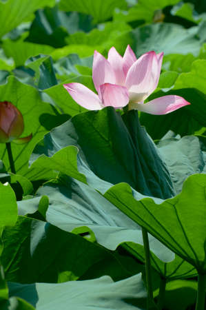 barely: Lotus has issued a barely face in a sea of leaves flowers