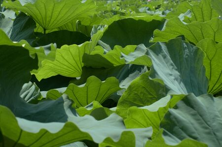 fueled: Lotus leaf that is fueled by the wind Stock Photo