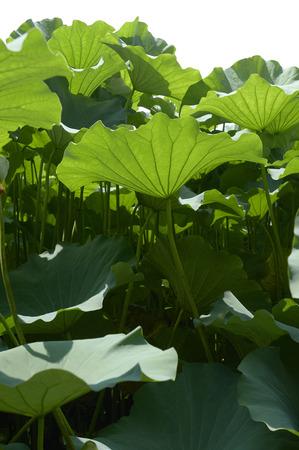 下から見上げた蓮の池の大きな葉 写真素材