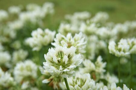 trifolium repens: White clover you with a drop of water after the rain Stock Photo