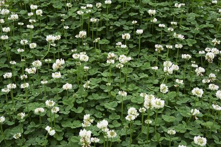 gregarious: White clover that is gregarious vigorously