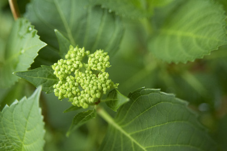 inflate: Hydrangea that began to inflate the flower bud