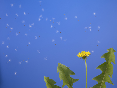carried: Dandelion seeds carried by the wind to the sky Stock Photo