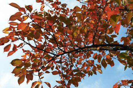 hazel branches: Cherry trees wearing a red leaf on the blue sky If you look up