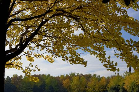 i hope: I hope the autumn trees in the shade of a tree over the yellow ginkgo