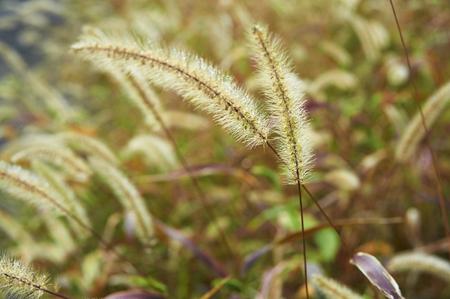 gregarious: Gregarious up of green foxtail