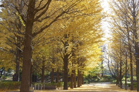 wood pillars: Yellow colored park of ginkgo tree-lined