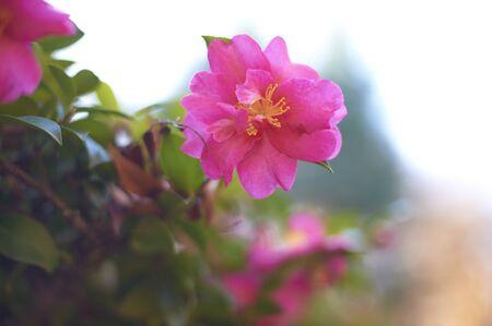 Sasanqua one wheel of a dark pink 写真素材