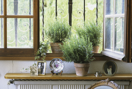 Windowsill of rosemary
