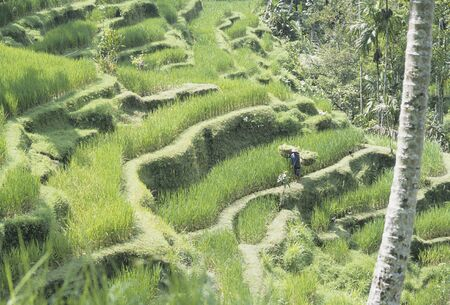 tegalalang: Tegalalang rice terrace  terraced