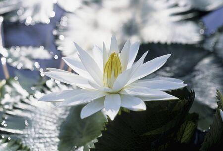 white lotus flower: White lotus flower Stock Photo