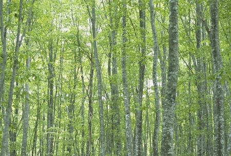 fog forest: Akita beech Stock Photo