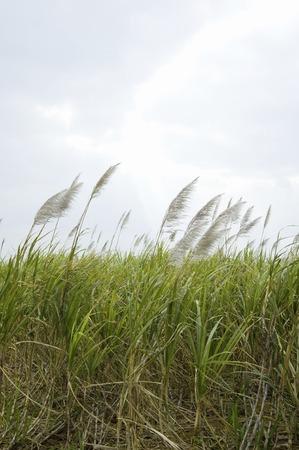 pampas: Grasslands and pampas grass