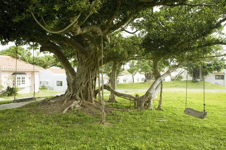 isolated tree: Tree of banyan