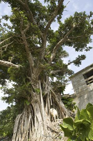 banyan: Tree of banyan