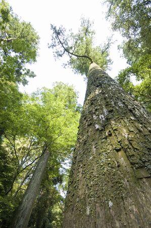 big tree: Hiroki
