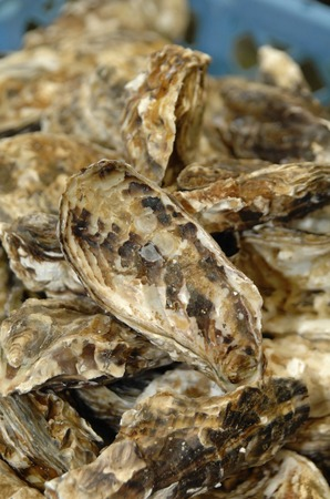 fishery products: Oysters Stock Photo