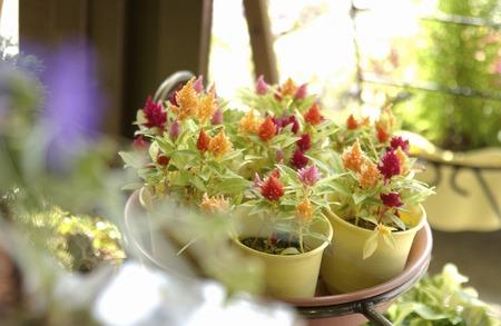 trifolium: Strawberry candles trifolium
