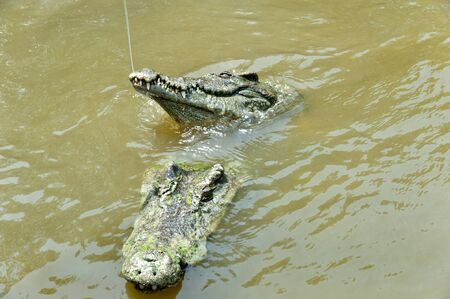 berserk: Crocodile