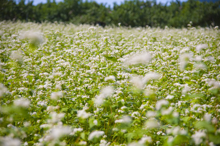 buckwheat: Buckwheat fields