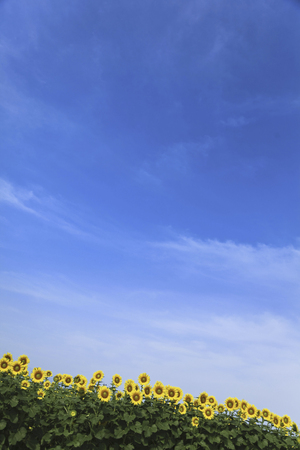 lingering: Sunflower blooms to the blue sky Stock Photo