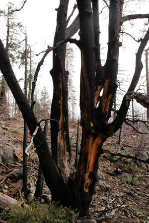 relent: Burnt tree stands on the ruins of the forest fire