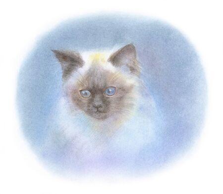 himalayan cat: Kitten Himalayan