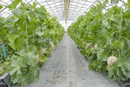 メロン農場