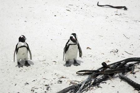 ペンギン 写真素材