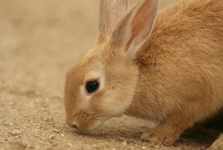 living organisms: Rabbit