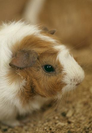 świnka morska: Guinea pig