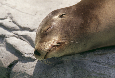 point and shoot: California sea lion