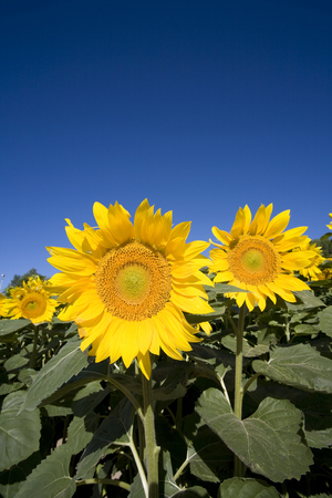 natural phenomena: Sunflower with blue sky