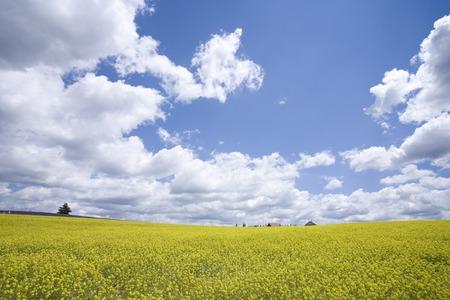 plateau of flowers: Rape blossoms and cloud