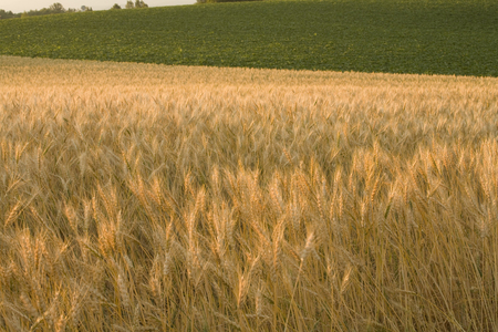 grandeur: Wheat field, dusk of wheat