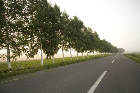 treelined: Road and birch tree-lined of the morning glow Stock Photo