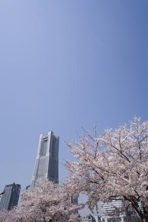 minato: Minato Mirais cherry Stock Photo