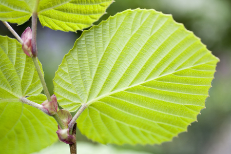 young leaves: Young leaves of Hyougamizuki, Stock Photo