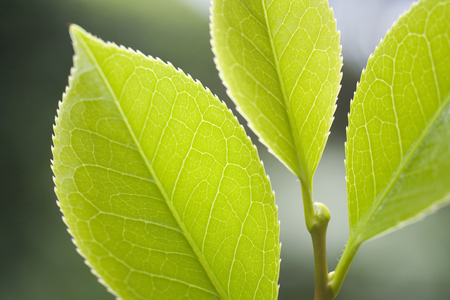 young leaves: Young leaves of Camellia