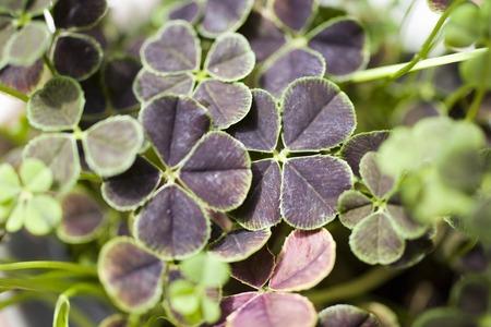 trifolium repens: Fourleaf clover