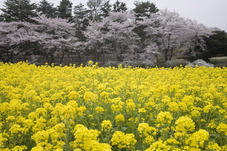 mustard field: Rape and cherry