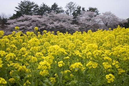 showa: Sakura of Showa Memorial Park