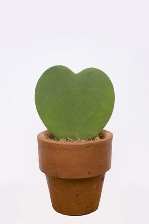 potted plant cactus: Flowerpot Heart cactus Stock Photo