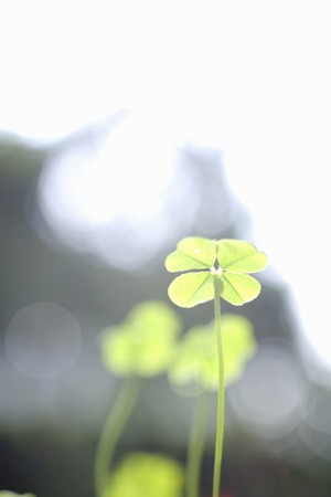 livelihood: Fourleaf clover